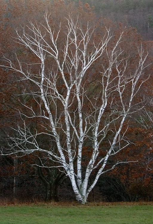 Berkshire Birch