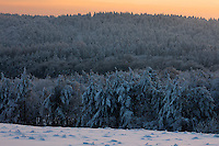 Carpathian spruce forest (Picea abies), Bieszczady National Park, Poland