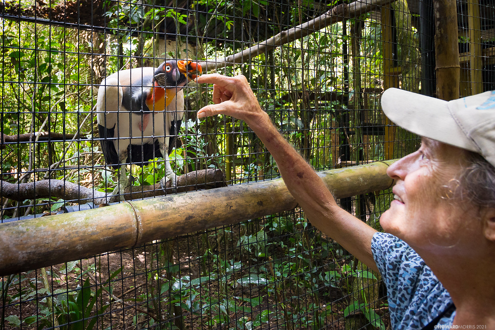 King Vulture (Sarcoramphus papa) Max enjoying a little love from Belize Zoo director Sharon Matola.
