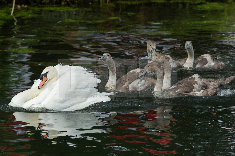 A group of nine swans and Signet swans swinning Swan Upping takes place on the River Thames near Windsor, Berkshire, UK. The annual event dates from medieval times, when The Crown claimed ownership of all mute swans which were considered an important food source for banquets and feasts. Today, the cygnets are weighed and measured to obtain estimates of growth rates and the birds are examined for any sign of injury, commonly caused by fishing hook and line. The cygnets are ringed with individual identification numbers by The Queen's Swan Warden, whose role is scientific and non-ceremonial. The Queen's Swan Marker produces an annual report after Swan Upping detailing the number of swans, broods and cygnets counted during the week. . Photo credit: Ray Tang/LNP
