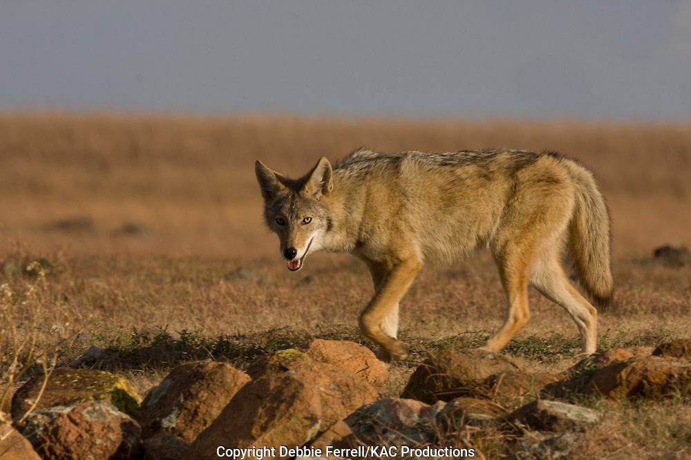 Coyote loping across prairie and rocks