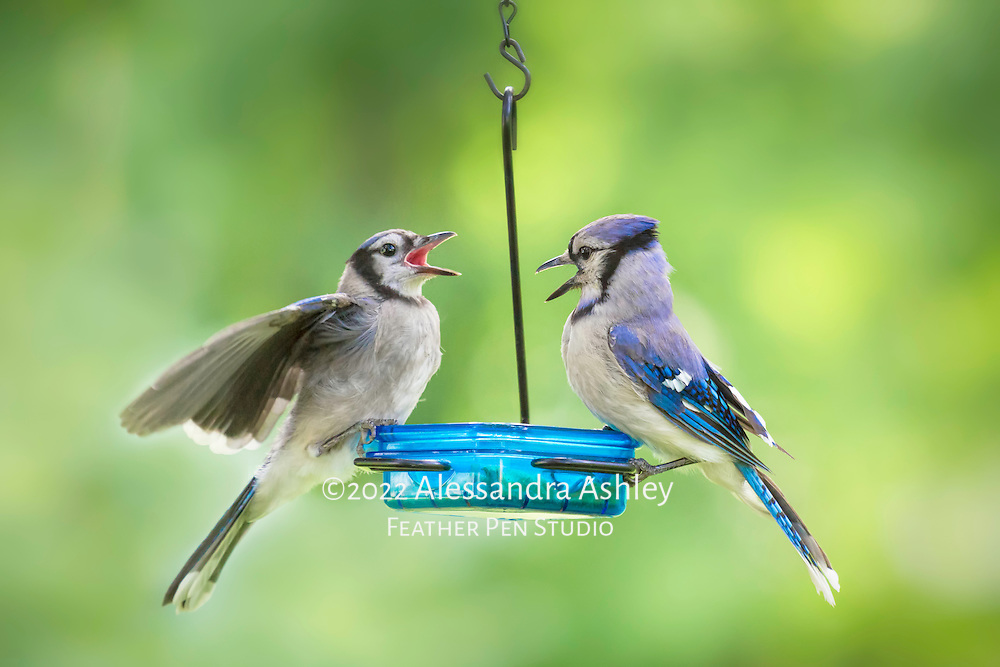 Fledgling blue jay (Cyanocitta cristata) with parent, flapping wings and requesting to be fed. Natural backyard setting, central Ohio.
