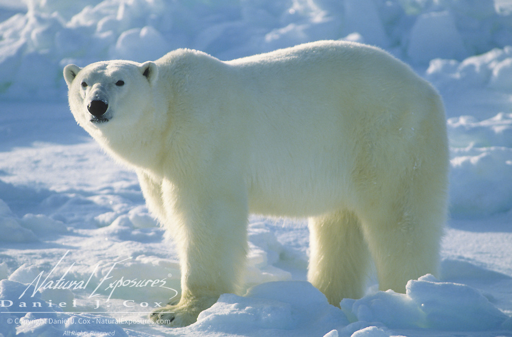 Polar Bear (Ursus maritimus) portrait of an adult at Hudson Bay in Canada.