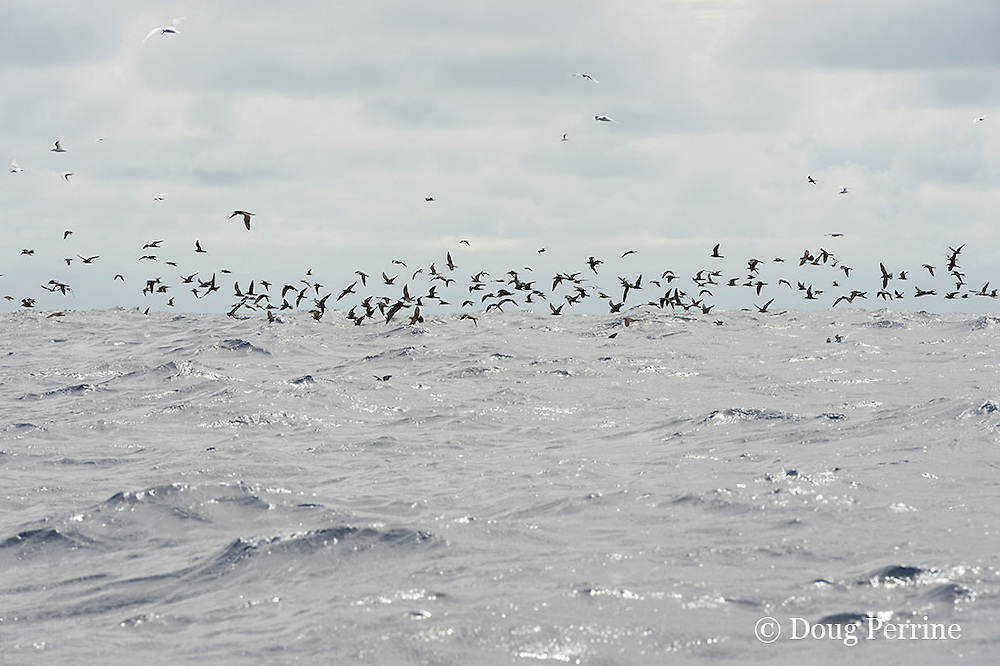 brown noddies, Anous stolidus, white terns, Gygis alba, and other seabirds mark a school of skipjack tuna, Vava'u, Kingdom of Tonga, South Pacific