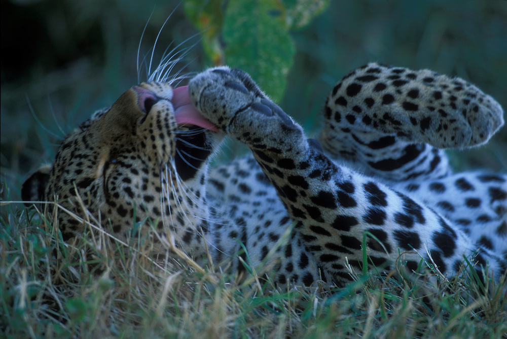 Africa, Kenya, Masai Mara Game Reserve, Adult Female Leopard (Panthera pardus) grooming herself in shade in early morning