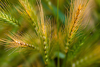 A picturesque close-up of wondrous wild wheat kissed by the golden glow of the sun.