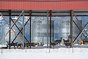 Deer under a pole barn in Imbler, Oregon.