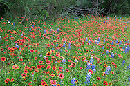 This patch of Indian Blankets provides a nice contrast to the surrounding bluebonnets.