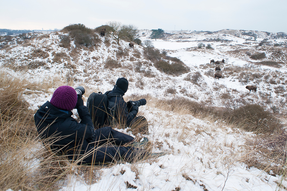 People watching a wisent (Bison bonasus, European bison) herd during an excursion of PWN in National Park Zuid-Kennemerland, kraansvlak in the winter. The Netherlands. January 2013.