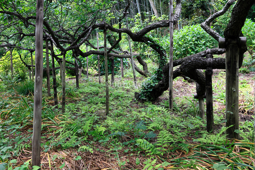 ancient plum trees long twisted arm twigs being supported with poles Japan