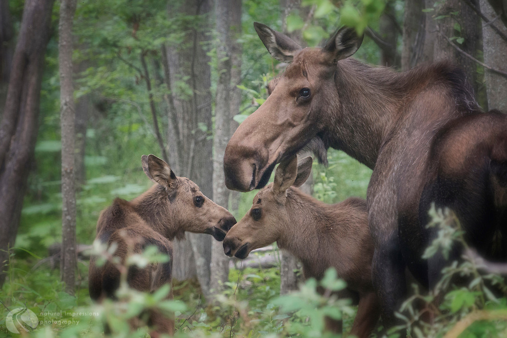 Mother Moose and twins, Alaska