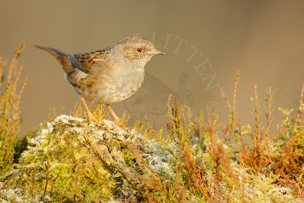 Dunnock (Prunella modularis) adult perched on moss covered stone during frost, heathland, Norfolk, UK.