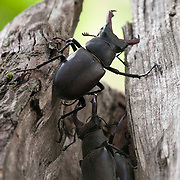 Stag Beetles in wood