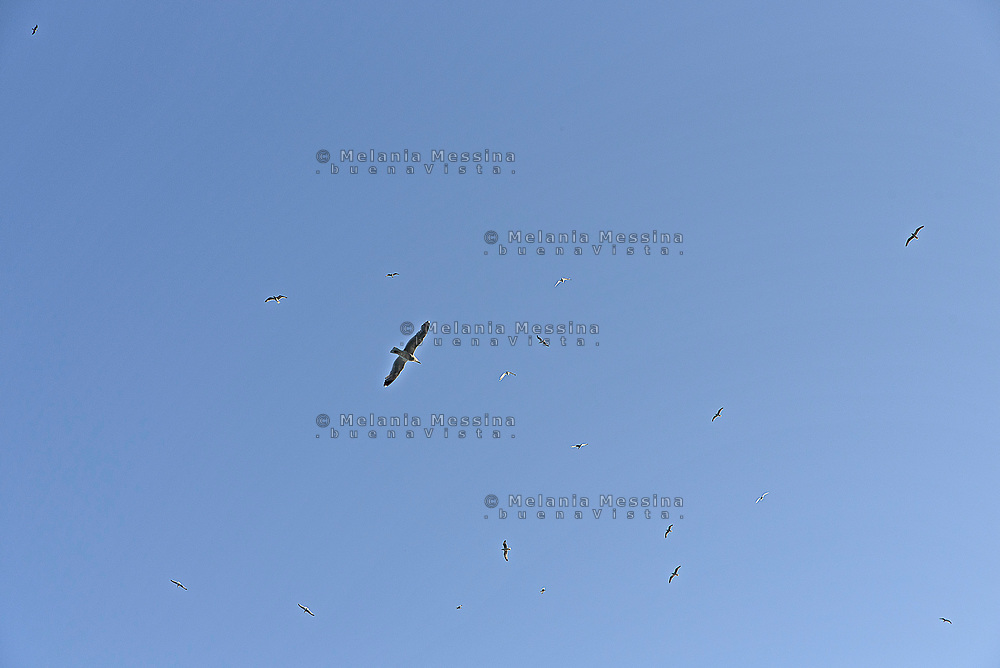 Seagulls flying in Levanzo sky, Egadi islands