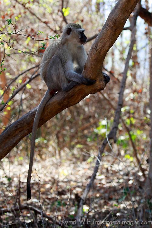 Africa, Zimbabwe, Victoria Falls. A Vervet Monkey near Victoria Falls.