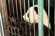 China, Sichuan, Chengdu, Giant Panda Research centre