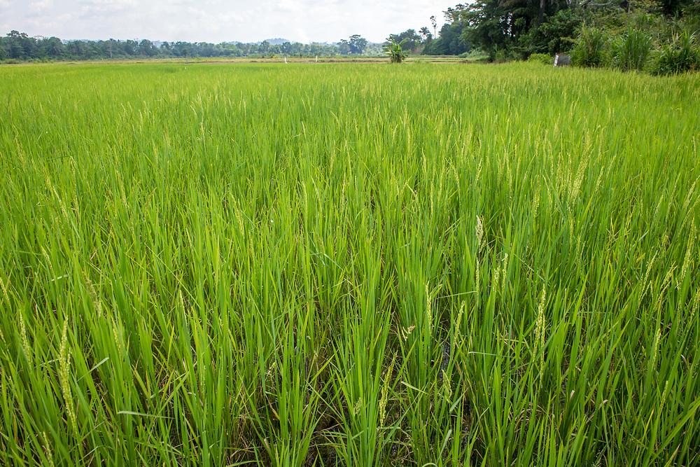 An African rice (Oryza glaberrima) field, Gbedin village, Nimba County , Liberia
