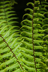 North America, United States, Washington, Bellevue, Bellevue Botanical Garden, fern fronds