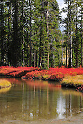 Vivid contrast of the red of the understory to the green of the pines.