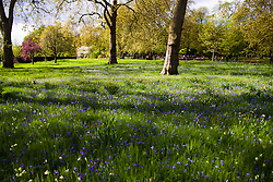 London, April 25th 2015. Despite the threat of forecasted showers, spring sunshine and warmth greets Londoners as they enjoy the Royal Parks in the capital. PICTURED: Bluebells herald spring in a wildflower meadow in Hyde Park.