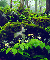I set up my 4x5 view camera in this lush mossy green forrest to take a photo of Great Smoky Mountain Wildflowers.