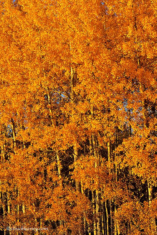 Late light on aspen trees in autumn in Whitefish Montana