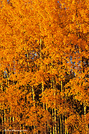 Late light on aspen trees in autumn in Whitefish Montana