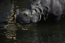 June 22, 2017 - Madrid, Madrid, Spain - An Indian rhinoceros (Rhinoceros unicornis) pictured cooling off with water at Madrid zoo, where high temperatures reached up to 39ºC during the afternoon hours. (Credit Image: © Jorge Sanz/Pacific Press via ZUMA Wire)