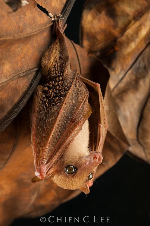 The Long-tongued Nectar Bat (Macroglossus minimus) is an important pollinator of many rainforest trees including mangroves and bananas.  Sarawak, Malaysia.