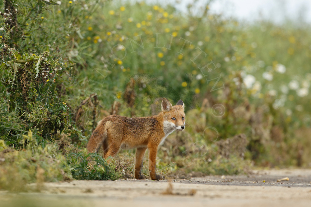 European Red Fox (Vulpes vulpes) juvenile, standing at edge of farm track, South Norfolk, UK. July.