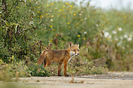 European Red Fox (Vulpes vulpes) juvenile, standing at edge of farm track, South Norfolk, UK. July.