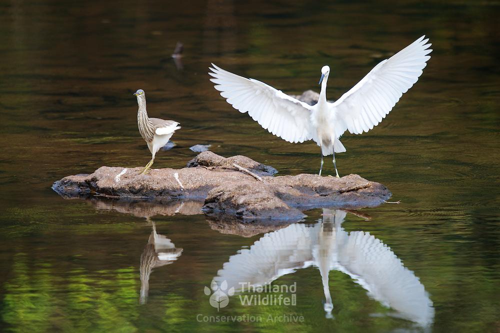 Chinese pond heron (Ardeola bacchus) and Chinese egret (Egretta eulophotes) in Khao Yai National Park, Thailand.