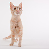 Domestic Short Hair Cat standing on a white seamless background.  The 4 month old kitten was photographed while waiting for adoption at the humane society.  Pet photography by Michael Kloth.