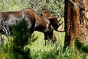 Moose in Rocky Mountain National Park, Colorado
