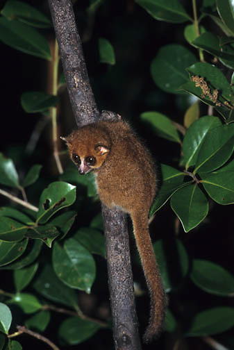 Brown Mouse Lemur (Microcelous rufus) in Madagascar.  Endangered Species.