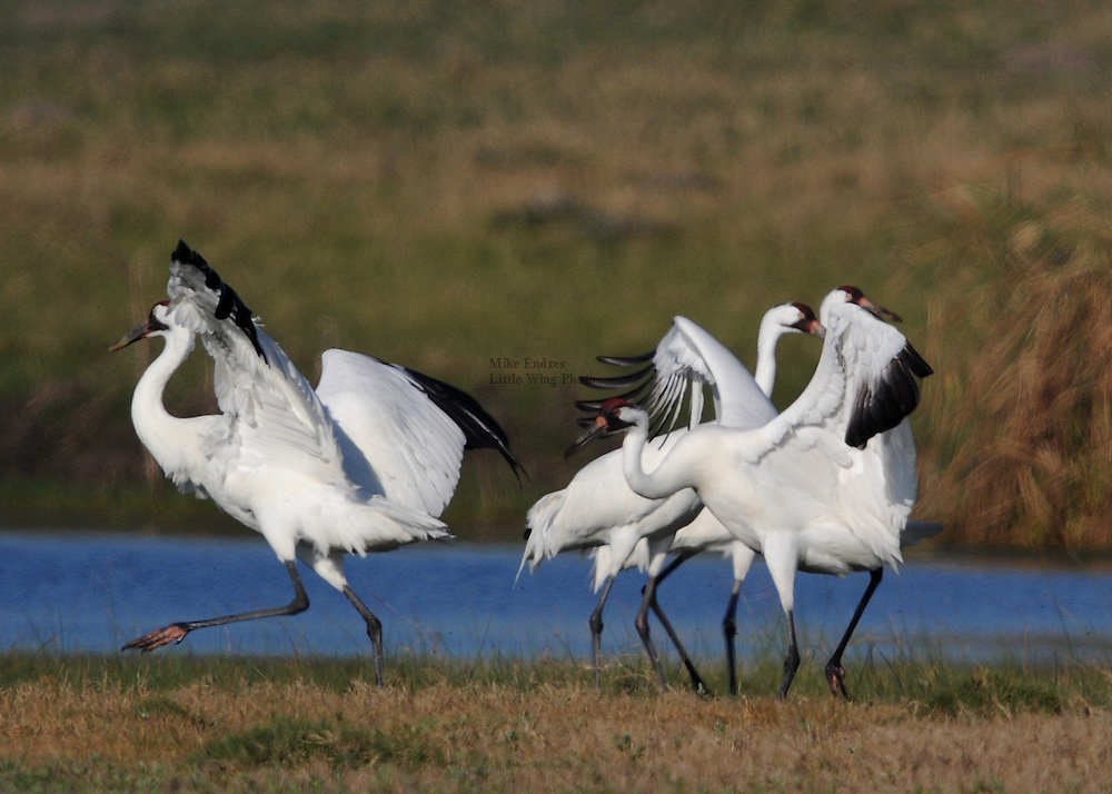 """Whooping Crane, Grus americana, tallest North American bird, 52"""", feeds in marshy habitat, remains in family groups year-round, white with black primaries, red crown, Aransas National Wildlife Refuge, Texas"""