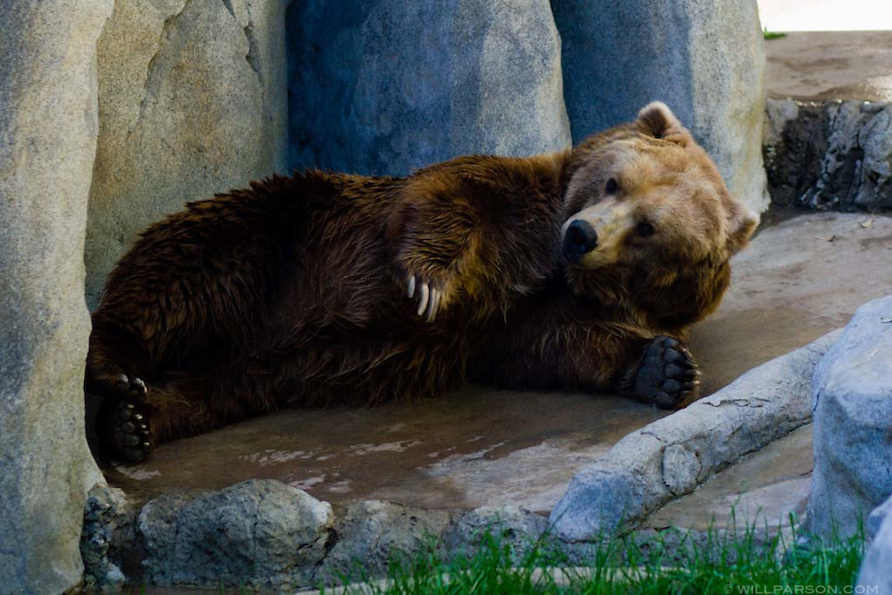 A grizzly bear at the San Diego Zoo
