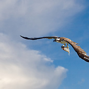 Osprey with fish, Dangriga, Stann Creek, Belize.
