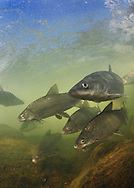 Inconnu (Sheefish) with Lake Whitefish<br />