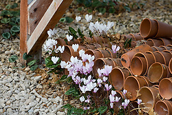 Self sown cyclamen growing amongst old pots under the workbenches at Ashwood Nurseries