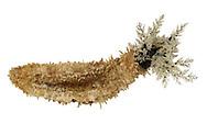 Brown Sea Cucumber - Aslia lefevrei