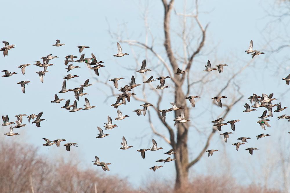 Green-winged teal, Anas crecca, Erie Marsh, Michigan