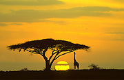 Giraffe at sunrise feeding on acacia, Serengeti National Park, Tanzania