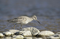 Willet (Catoptrophorus semipalmatus), in Bow River, Fish Creek Provincial Park, Calgary, Alberta, Canada   Photo: Peter Llewellyn
