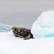 A Weddell seal (Leptonychotes weddellii) lies on a small iceberg at Cape Herschel in Antarctica.
