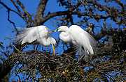 Two great egrets with breeding plumage set up house keeping and prepare for their future family in St. Augustine, Florida.