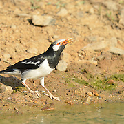 The pied myna or Asian pied starling (Gracupica contra) is a species of starling found in the Indian subcontinent and Southeast Asia.