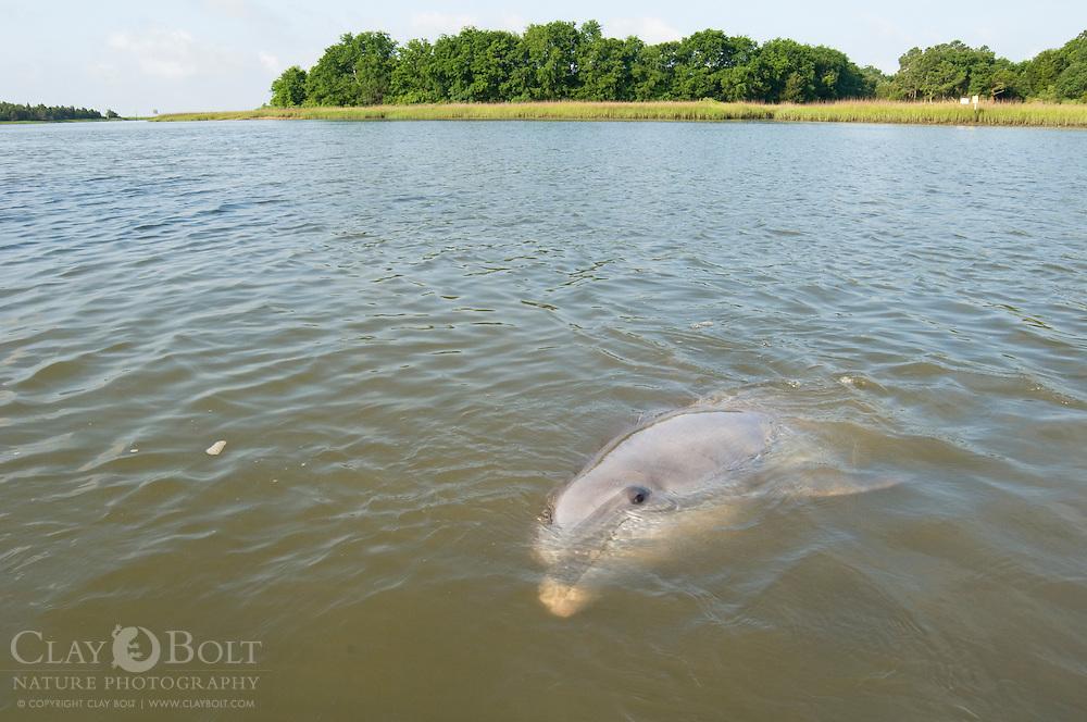 Bottlenose dolphin, McClellanville, SC
