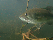 Largemouth Bass (male guarding fry)<br />