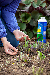 Protecting young emerging hostas using slug pellets applied sparingly